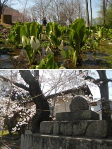 藤垈の水芭蕉と丸石神