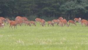 八ヶ岳の鹿
