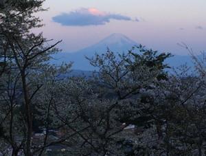 谷戸城址の富士と桜